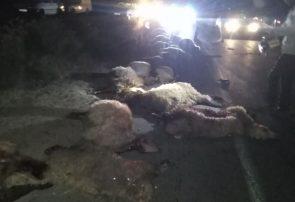 ۳۰ راس گوسفند در درگز بر اثر برخورد با خودرو تلف شدند + تصاویر