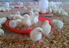 ۱۰۶ هزار قطعه جوجه ریزی در مرغداری های درگز