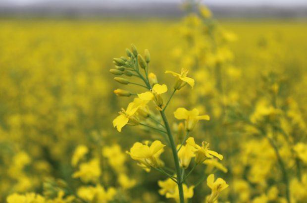 مزرعه گیاه کلزا شهر نوخندان در یک روز سرد بهاری