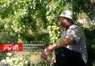 برداشت گلابی خوشه ای از باغات دربندی درگز