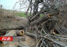 """""""قلع و قمع درختان در روستای « شیلگان»"""""""
