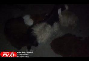 تلف شدن ۸ راس گوسفند در برخورد با پراید در درگز